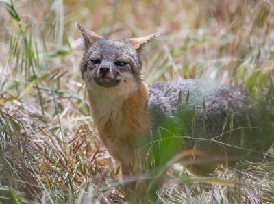 This picture of an island fox was taken on Santa Cruz Island, one of California's Channel Islands.