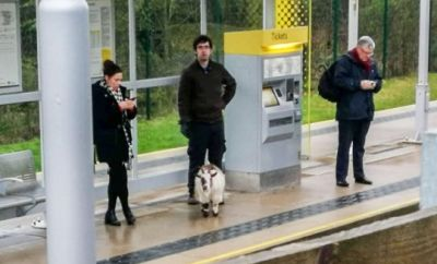missing goat catches a train