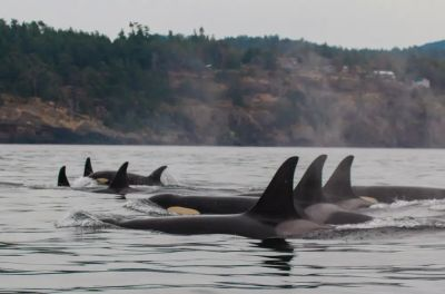 A group of southern resident orca whales swim in the inshore coastal waters of Washington state and British Columbia, Canada