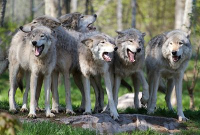 These wolves don't look so scary.